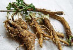 корень цикория